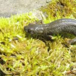 great-crested-newt