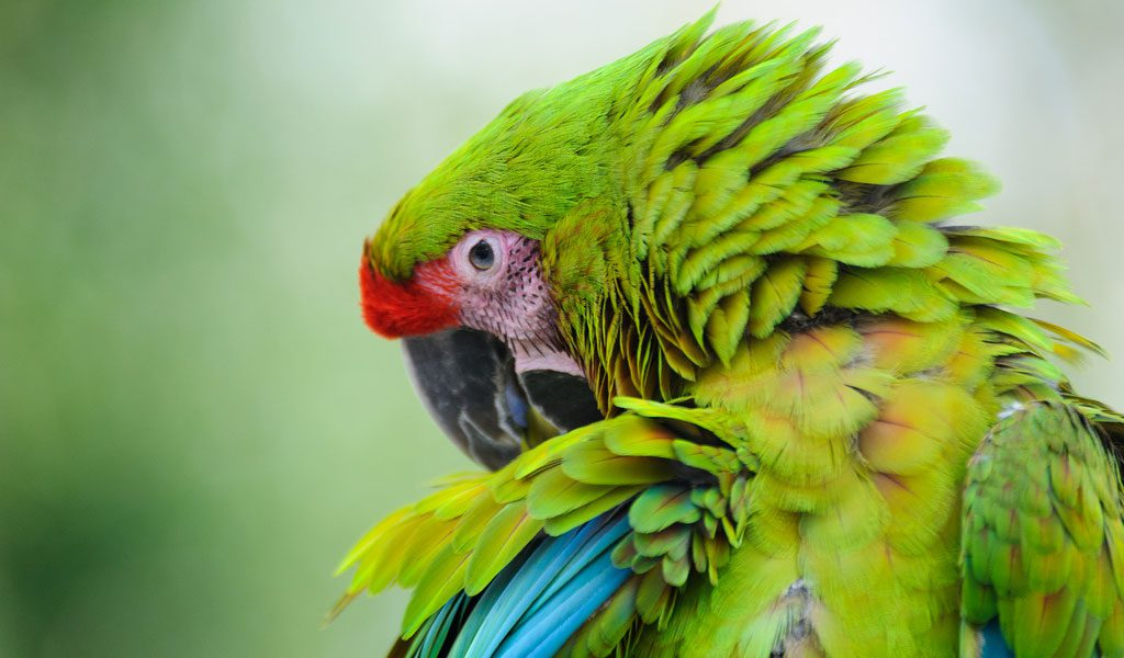 Green macaws