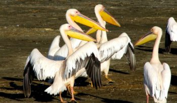 great-white-african-pelican
