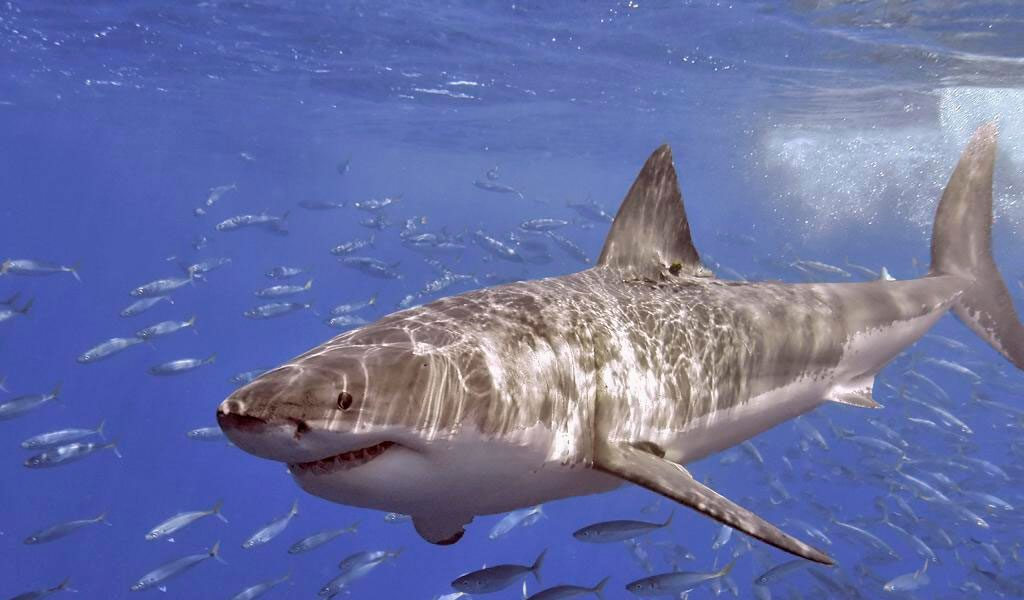 Great White Shark - Key Facts, Information & Picture