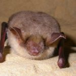 greater-mouse-eared-bat