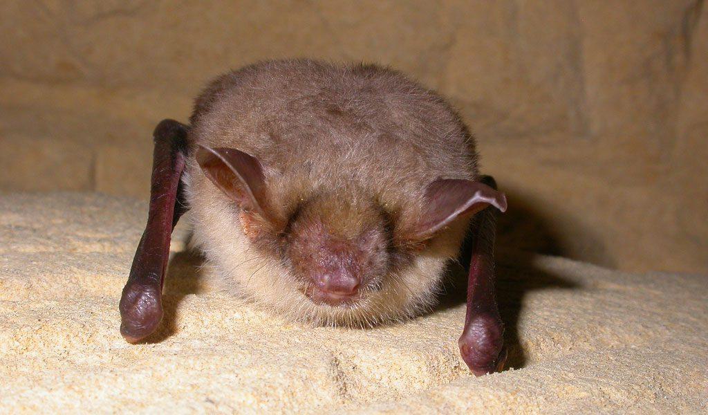 Vampire Bats - Facts, ...