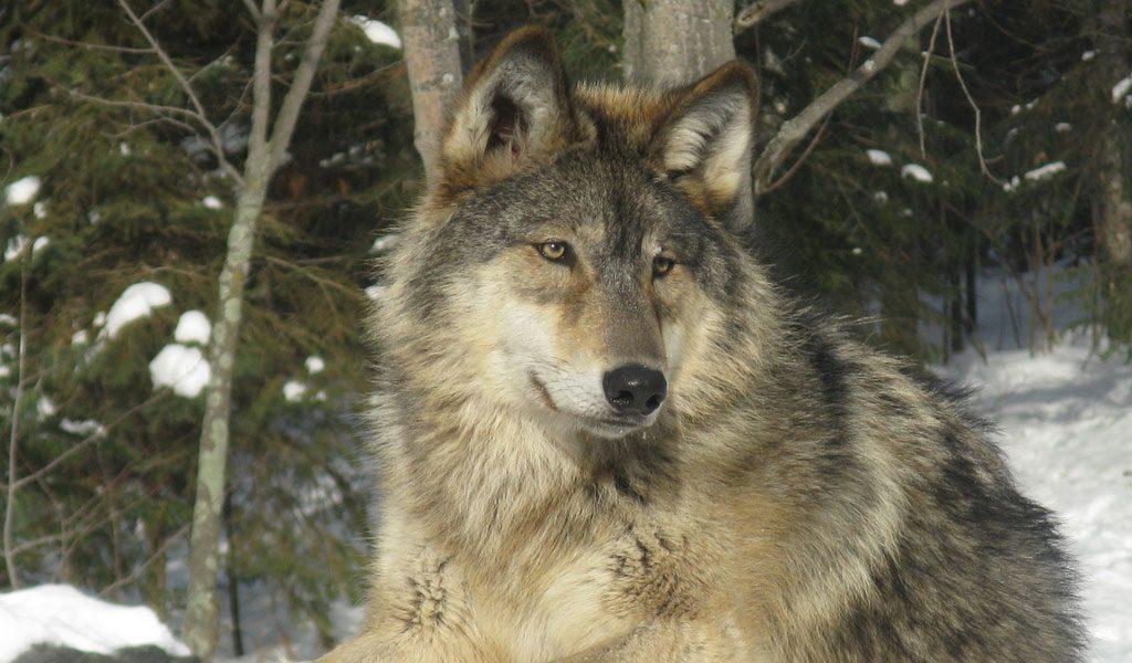 Grey Wolf Facts Size Diet Habitat Information