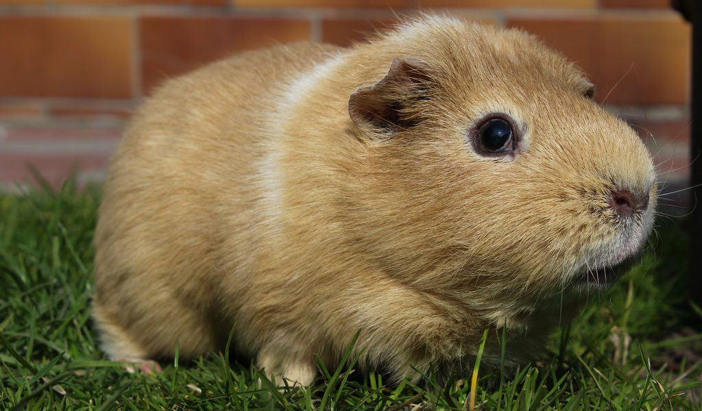 Guinea Pigs - Facts, Breeds, Information & Pictures
