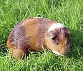 Short haired guinea pig