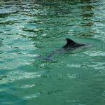 harbour-porpoise