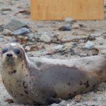 harp-seal