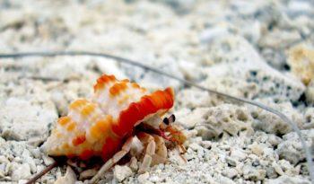 hermit-crab