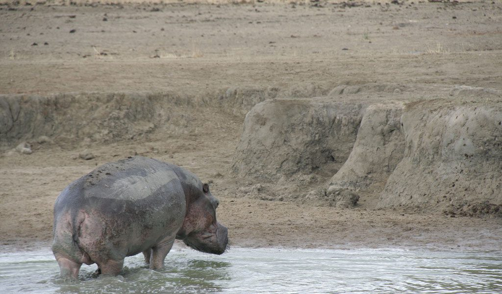 Hippopotamus eating people