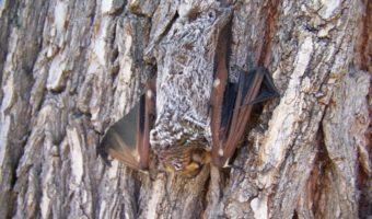 hoary-bat