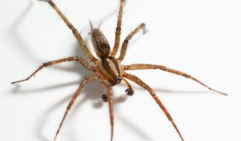 hobo spider facts size bite habitat information