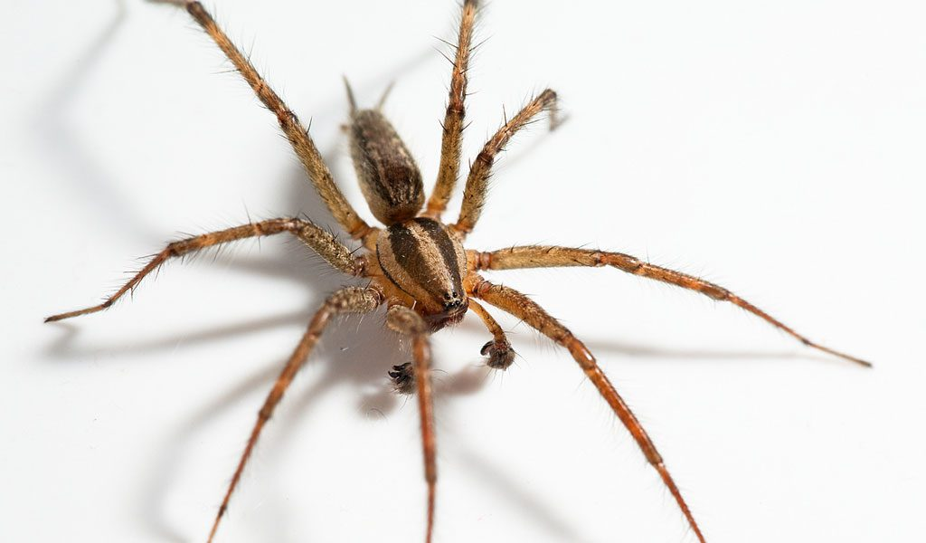 Hobo Spider - Facts, Size, Bite & Habitat Information - photo#47
