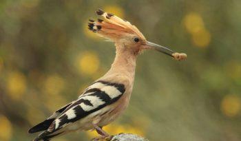 hoopoe-bird