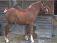 Russian Heavy Draft Horse