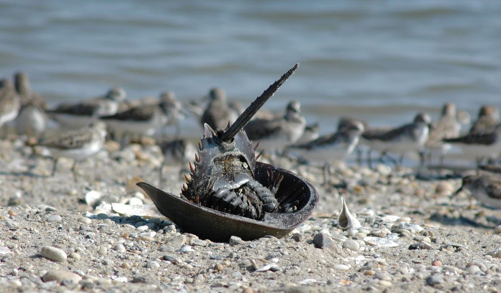 horseshoe-crab