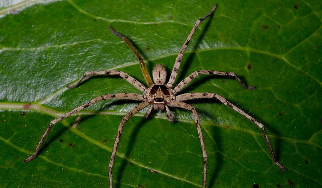 Huntsman Spider Facts Bite Habitat Information