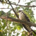 indian-cuckoo
