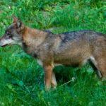 italian-wolf