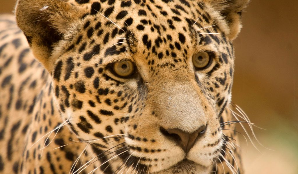 Jaguar Big Cat Facts Information Pictures