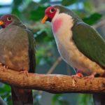 jambu-fruit-dove