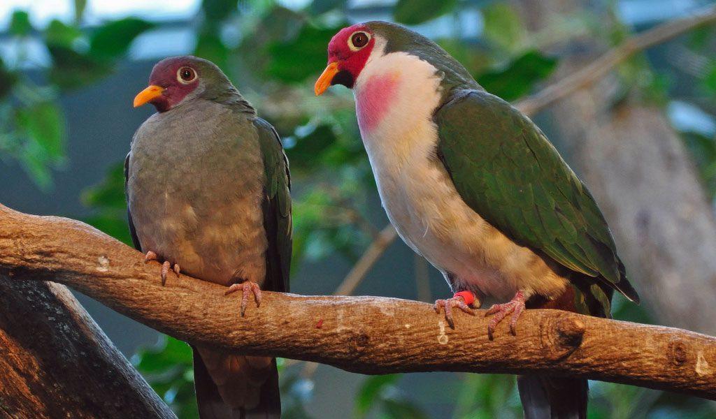 jambu fruit dove flying - photo #20