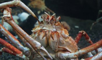 japanese-spider-crab