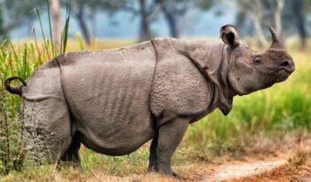 javan-rhinoceros