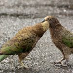 kea-parrot