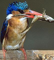 Kingfisher eating