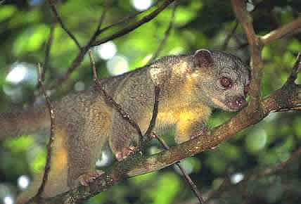 Rainforest Kinkajou