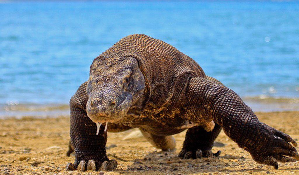 Komodo Dragon - Key Facts, Information & Habitat