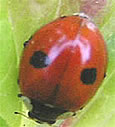 Two-spotted Ladybird