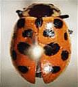 Thirteen-spotted Ladybird