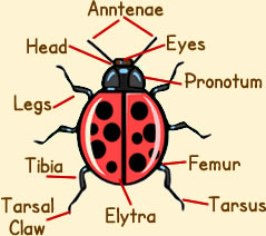 ladybird anatomy diagram picture of ladybug anatomy. Black Bedroom Furniture Sets. Home Design Ideas