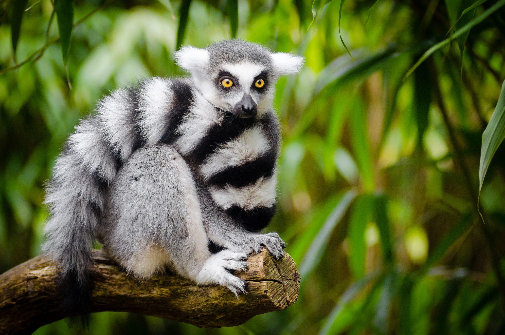 Lemur Information for Kids  Animal Website For Kids