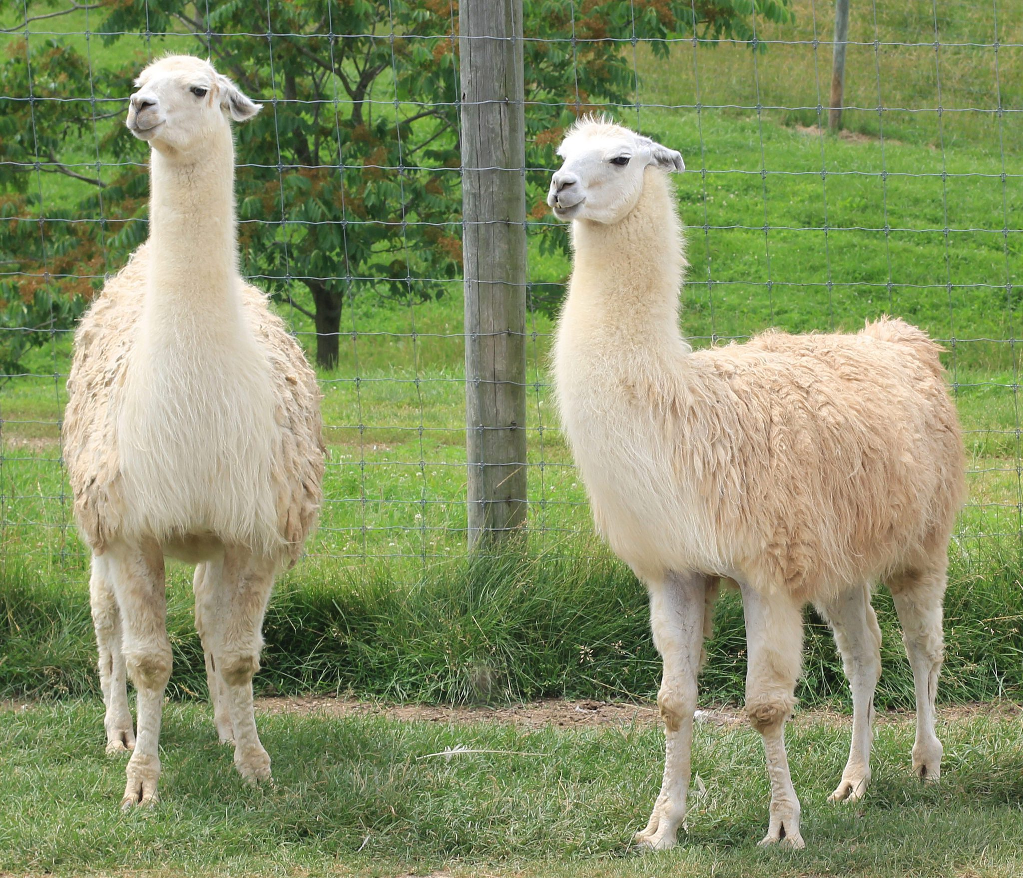 Llama - Key Facts, Information & Pictures Llamas The Animal