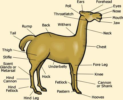 Llama Anatomy Visual Diagram Of Llama Features