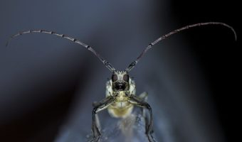 Long Horned Beetle - Facts, Information & Pictures