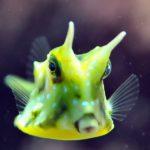 longhorn-cowfish