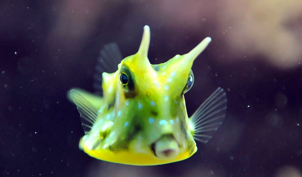 Longhorn Cowfish - Facts, Pictures & Habitat Information
