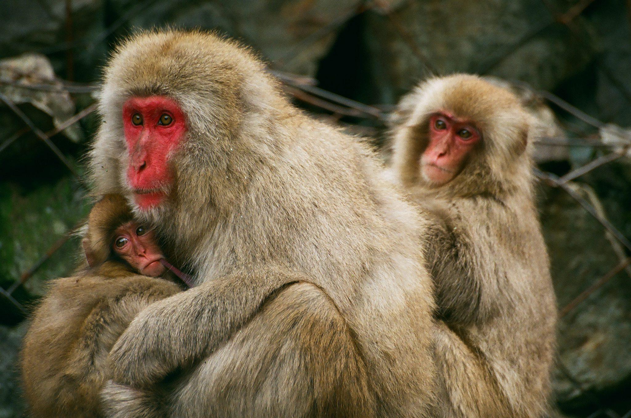 Macaque Monkeys - Facts, Information & Habitat