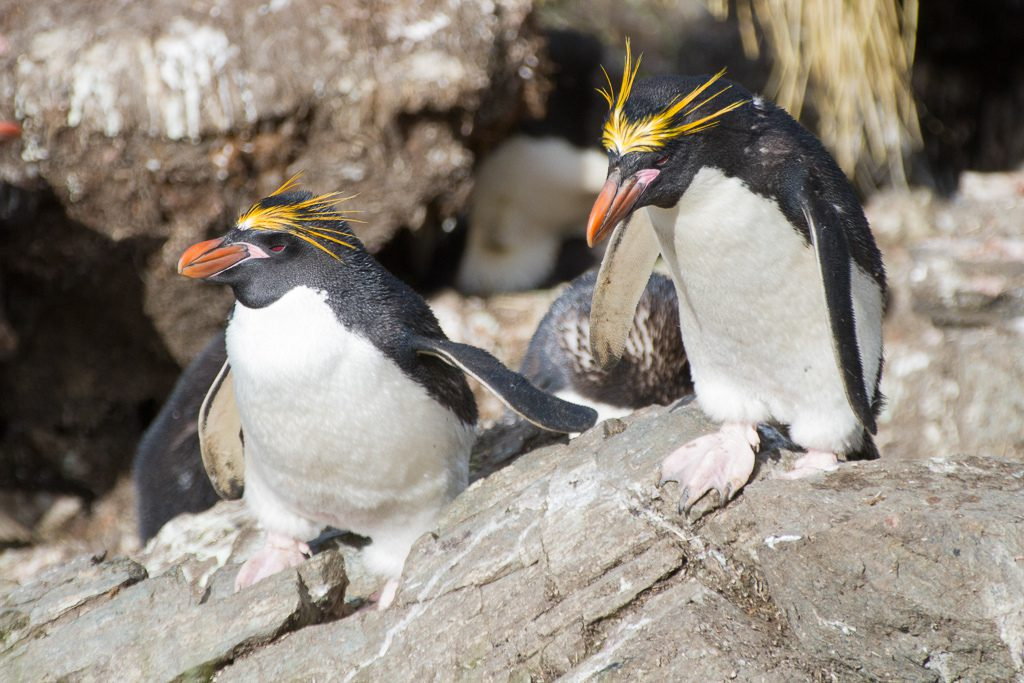 """the characteristics and habitats of the penguin species """"but to see this process in long-lived animals you have to look at generations of  individuals, track how traits are inherited and detect selection at."""