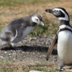 magellanic-penguin