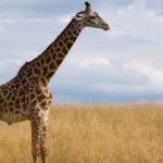 masai-giraffe