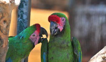Scarlet Macaw Parrot - Facts, Information & Habitat