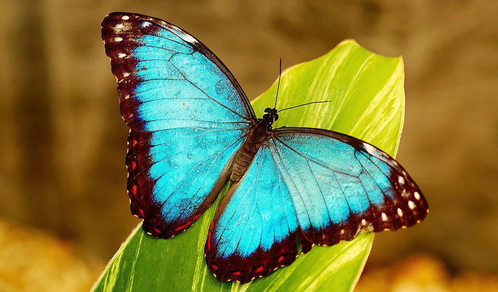 Morpho Butterfly Key Facts Information Habitat