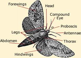 Moth Anatomy amp Life Cycle Diagram