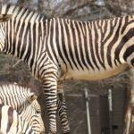 mountain-zebra