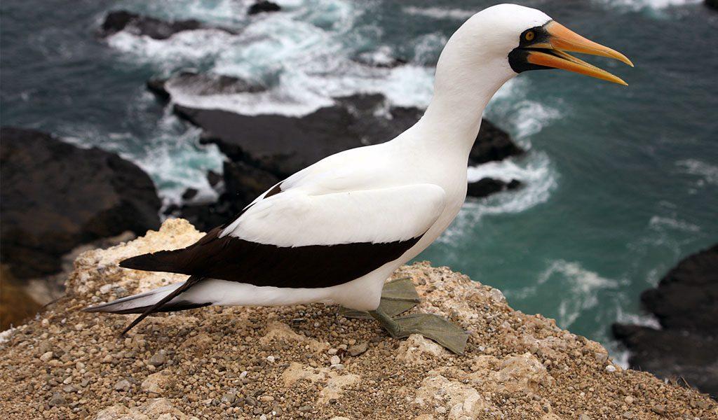 nazca-booby