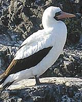 Nazca Booby Bird